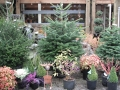 living-christmas-trees-2012-003
