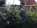 potted-christmas-trees